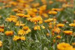 "Calendula's German name ""Ringelblume"" (ringlet flower) comes from the ringlet form of the seeds."