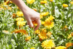 The calendula flowers are plucked individually by hand from the stem.